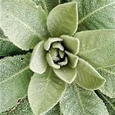 Mullein Leaf  4 oz