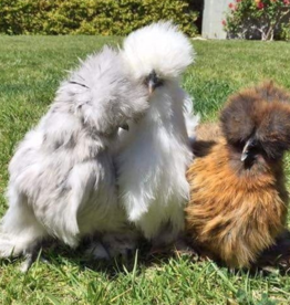 IDEAL HATCHERY BANTAMS SILKIES 5-19-2021 (STRAIGHT RUN)