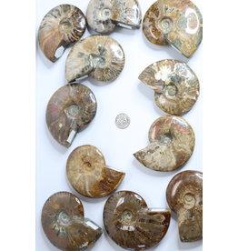 Polished Ammonite Shell Large