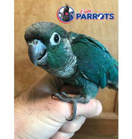 Turquoise GCC
