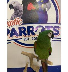 Illigers Macaw
