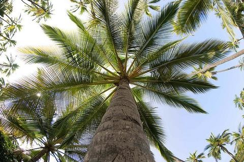 Ecuadorian Ivory Palm