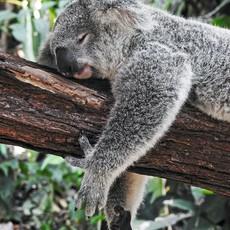 Conscious Step Socks that Protect Koalas: Blue