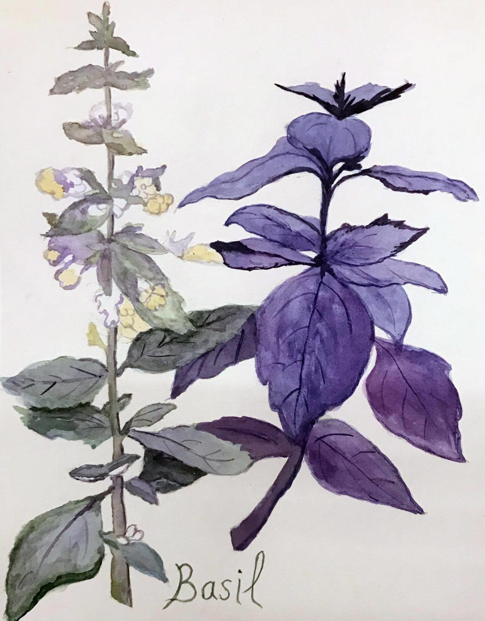 Tamara S Watercolour  Basil Tues Nov 24