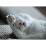 LAZY WHITE CAT CARD