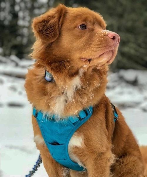 Rocky Mountain Dog Rocky Mountain Dog Kootenay All-Terriain Harness
