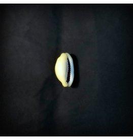 Cowrie Shell - Single