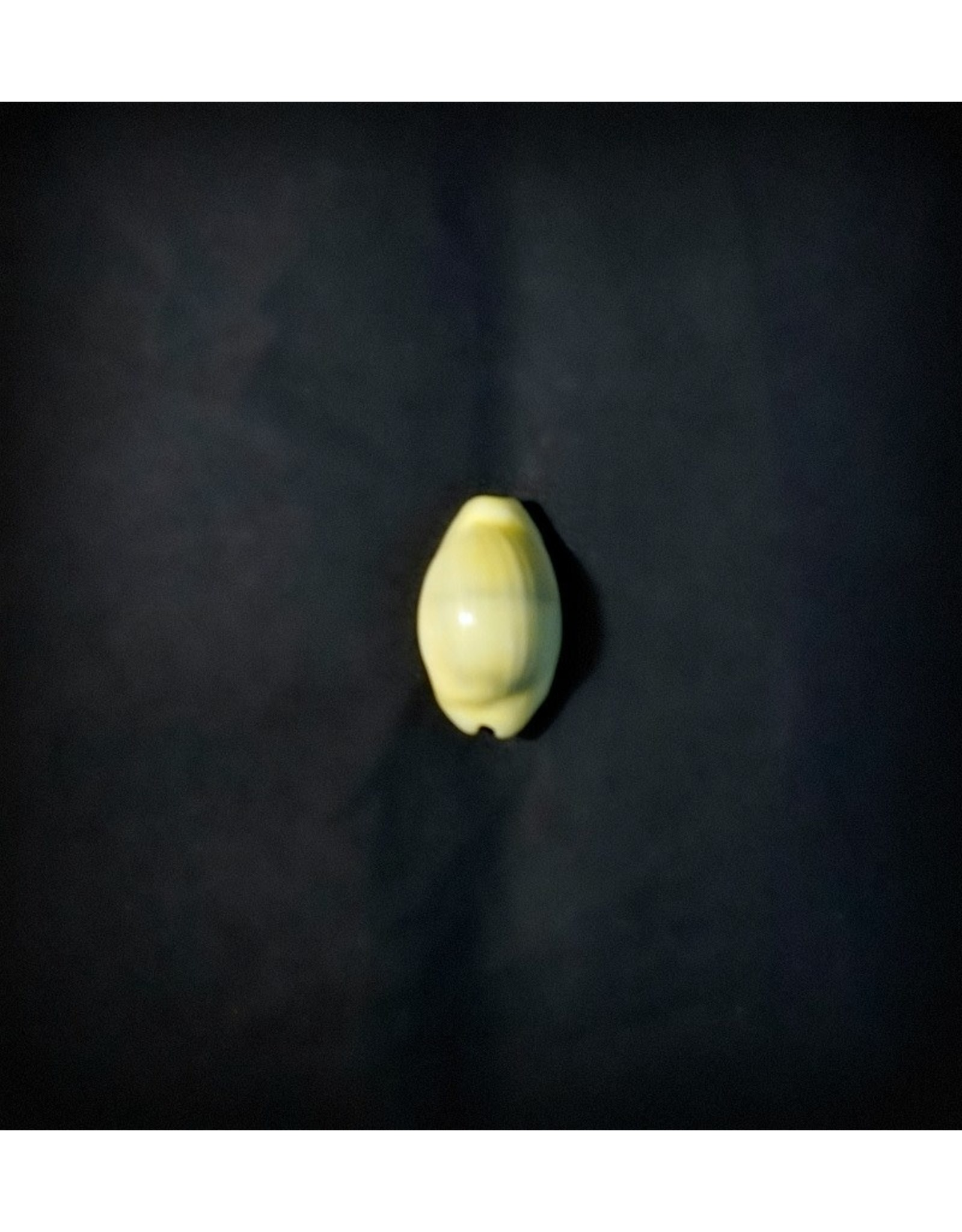 Cowrie Shell - Single