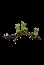 Hear No Evil, See No Evil, Speak No Evil Frogs on a Log