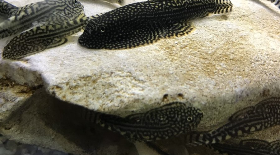 Saltwater and Freshwater New Arrivals at Fish Gallery Woodlands 11/20/20