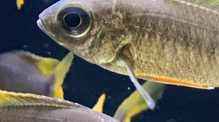 New freshwater fish at Dallas