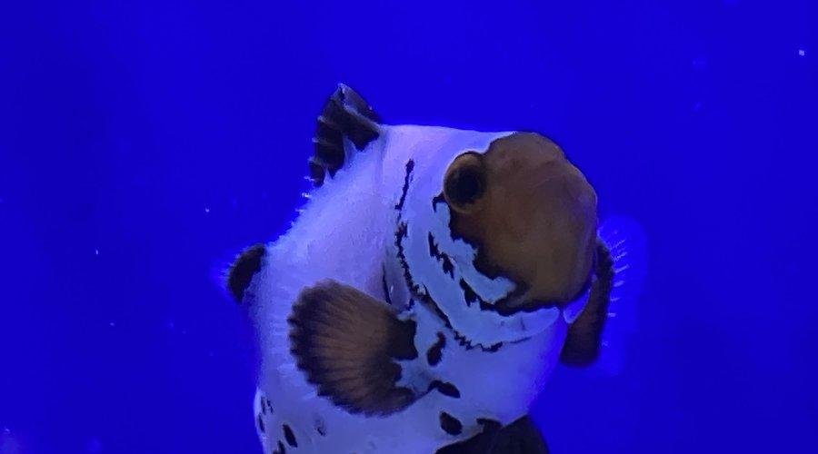 Clownfish Dallas 2/21