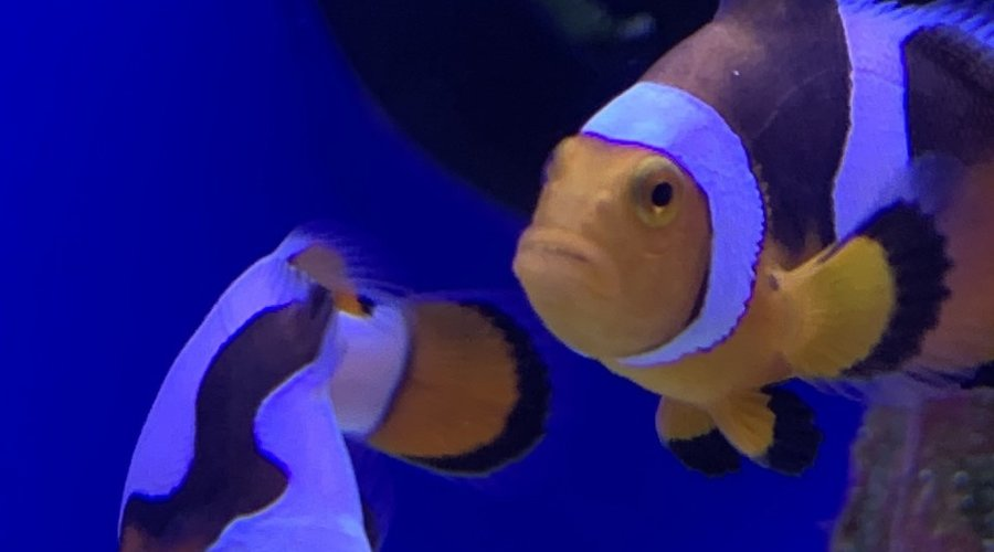 New Batch Of Captive Bred Saltwater Fish At Dallas