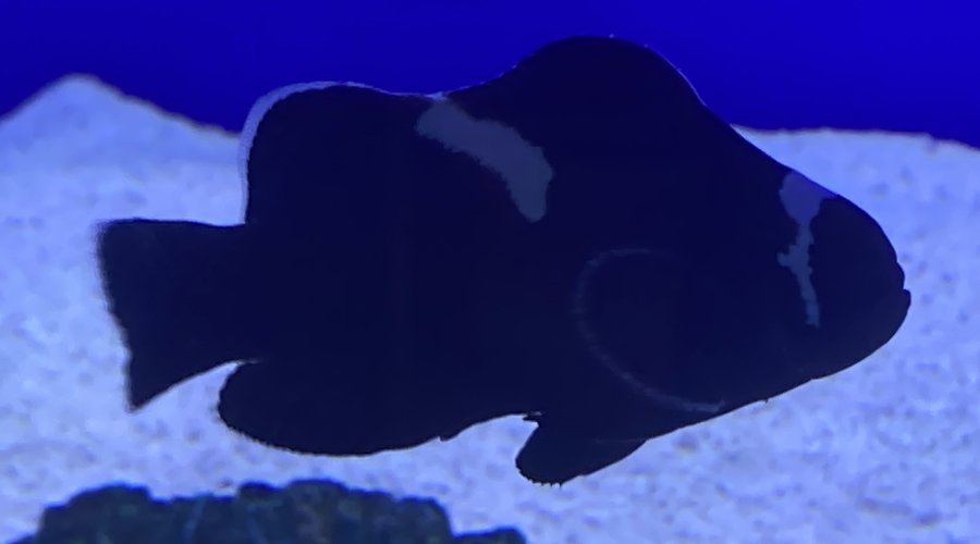 New Clownfish Now in stock at Fish Gallery Dallas!