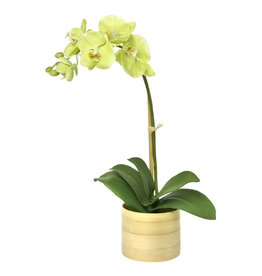 Floral Green Moth Orchid in Bamboo Planter