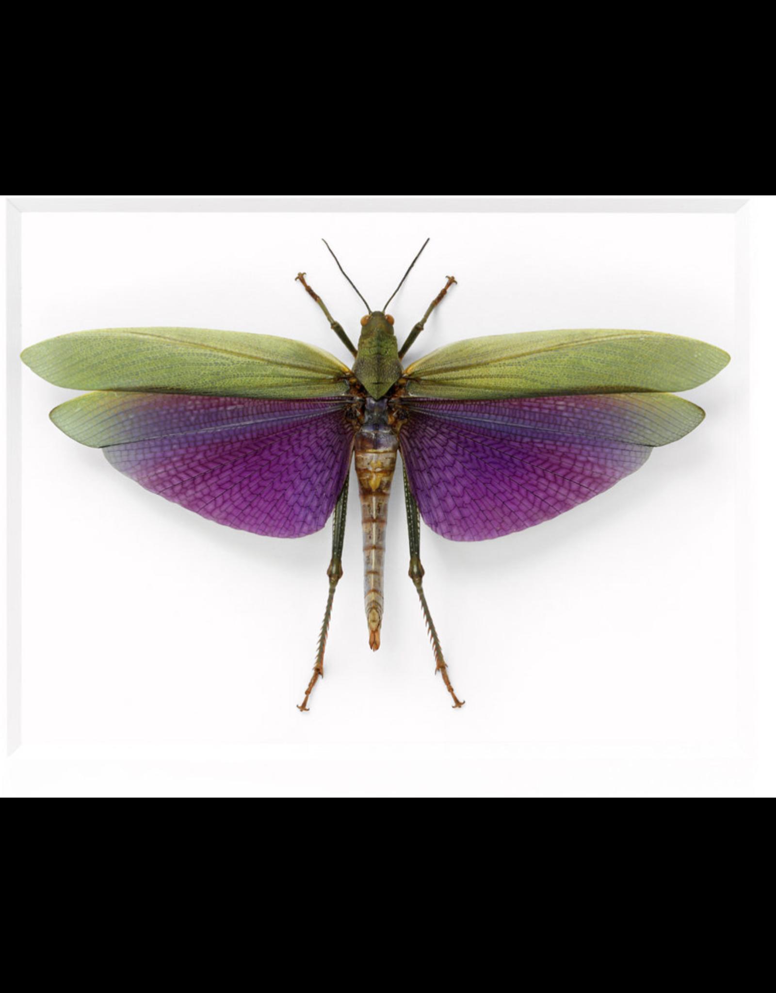 Amazonian Grasshopper 14x11