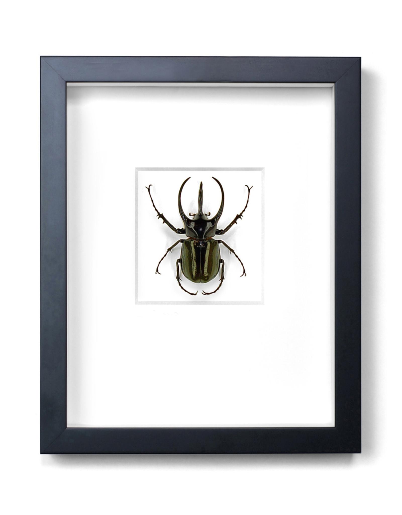 Atlas Beetle 11x14
