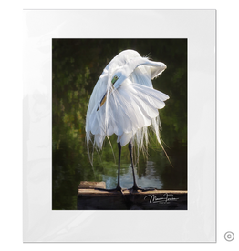 Maureen Terrien Photography Art Print Egret Preening 11x14 - 16x20 Matted