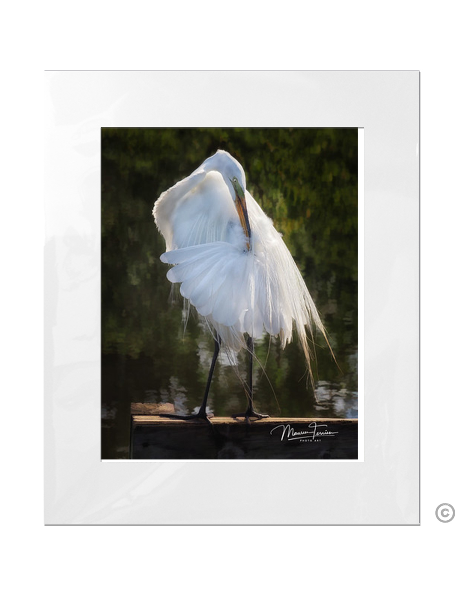 Maureen Terrien Photography Art Print Egret Preening B 11x14 - 16x20 Matted