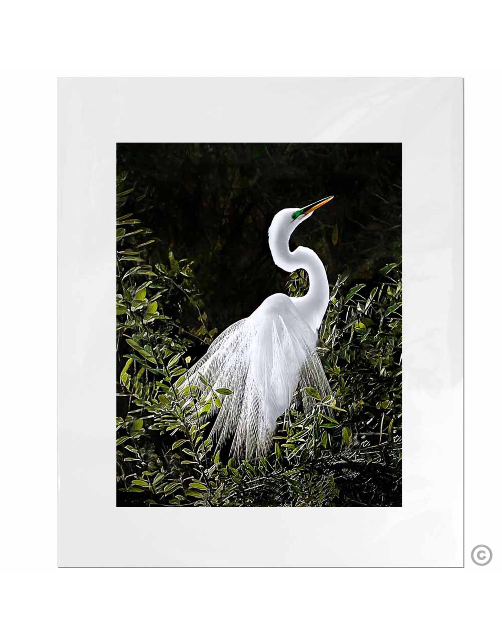Maureen Terrien Photography Art Print Snowy Egret-B 11x14-8x10 Matted