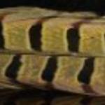 Natures Spirit RINGNECK PHEASANT CENTER TAILS - Yellow