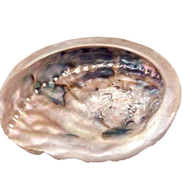 """Abalone Shell Packaged 6"""""""