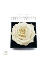 White Rose in Box