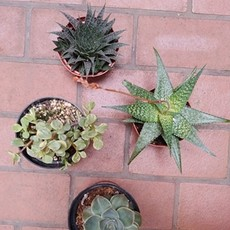 Volume One Medium Cacti / Succulent (Assorted)