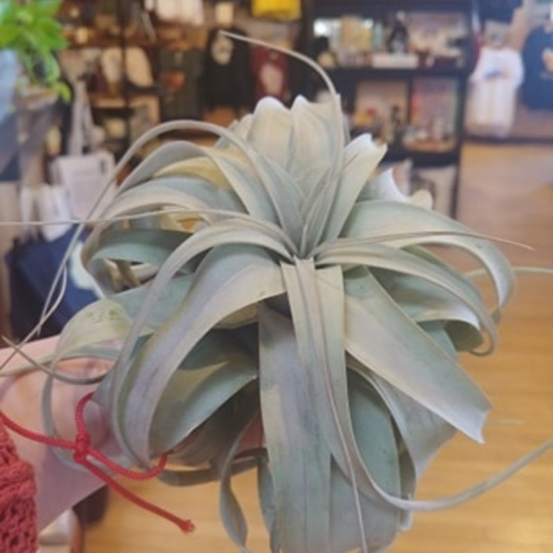 Volume One Air Plant - Red String