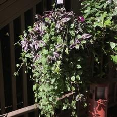 Volume One Plant - Hanging Basket (Large / Basket)