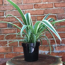 "Volume One Plant - 4"" Spider Plant"