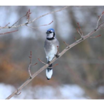Wisco Cheer Wisco Cheer Holiday Card - Blue Jay