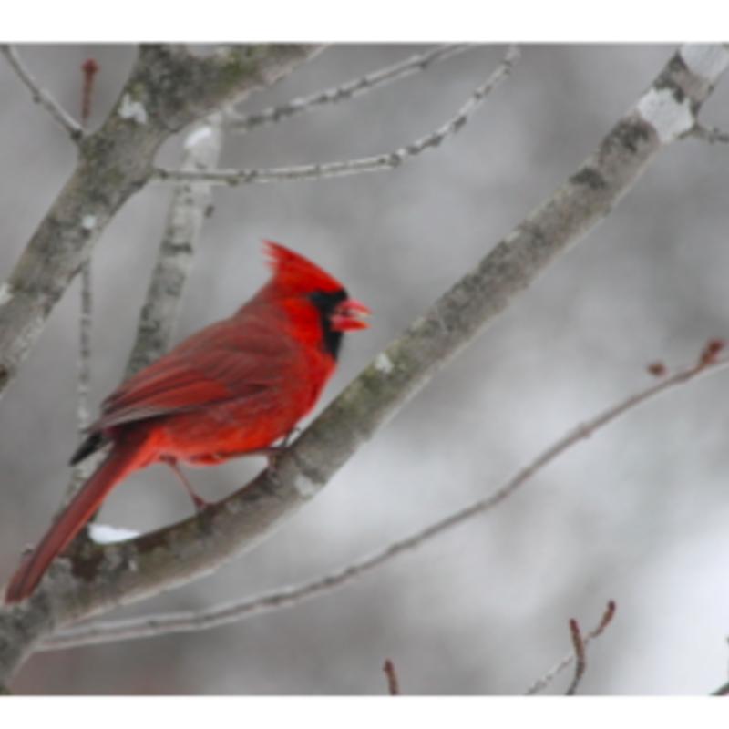 Wisco Cheer Wisco Cheer Holiday Card - Cardinal