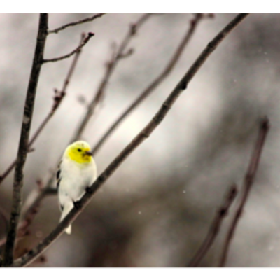 Wisco Cheer Wisco Cheer Holiday Card - Goldfinch