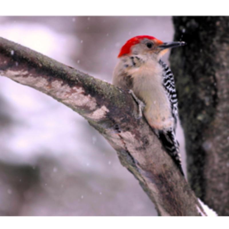 Wisco Cheer Wisco Cheer Holiday Card - Woodpecker
