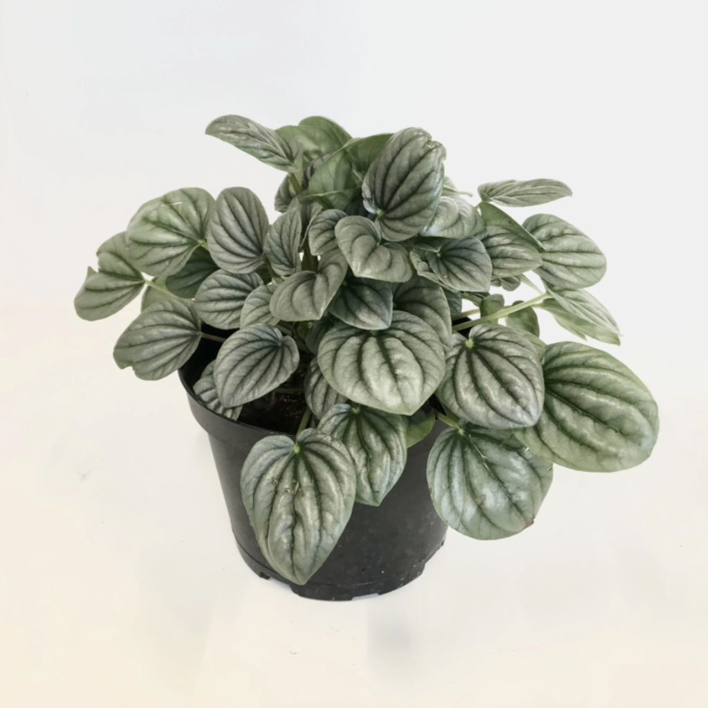 """Volume One Peperomia 'Frost' - 6"""""""