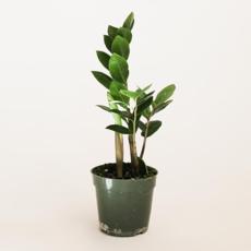 "Volume One Plant - 4"" ZZ Zenzi Plant"