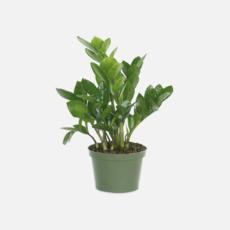 "Volume One Plant - 6"" ZZ Plant"