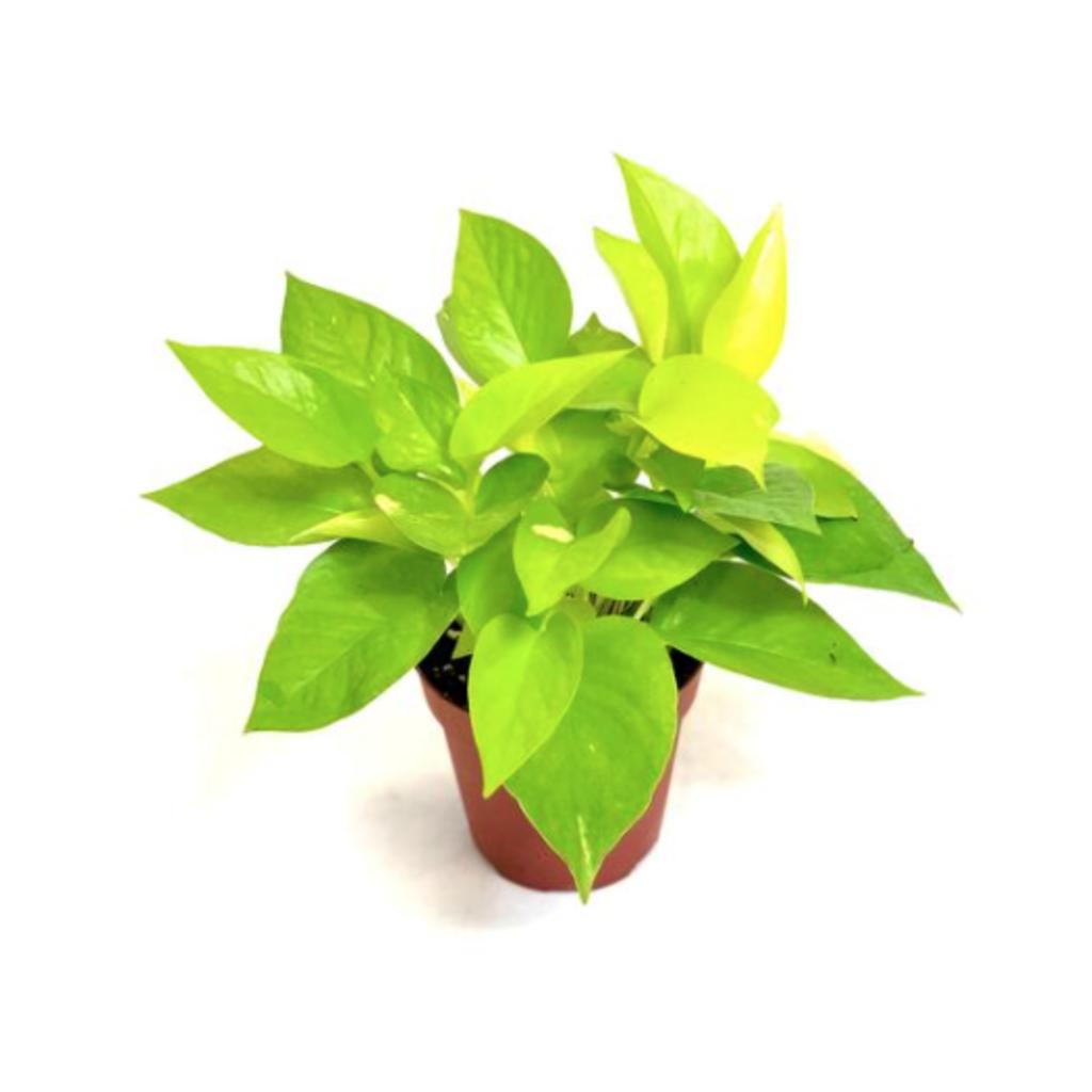 """Volume One Plant - Pothos 'Neon' - 4"""""""