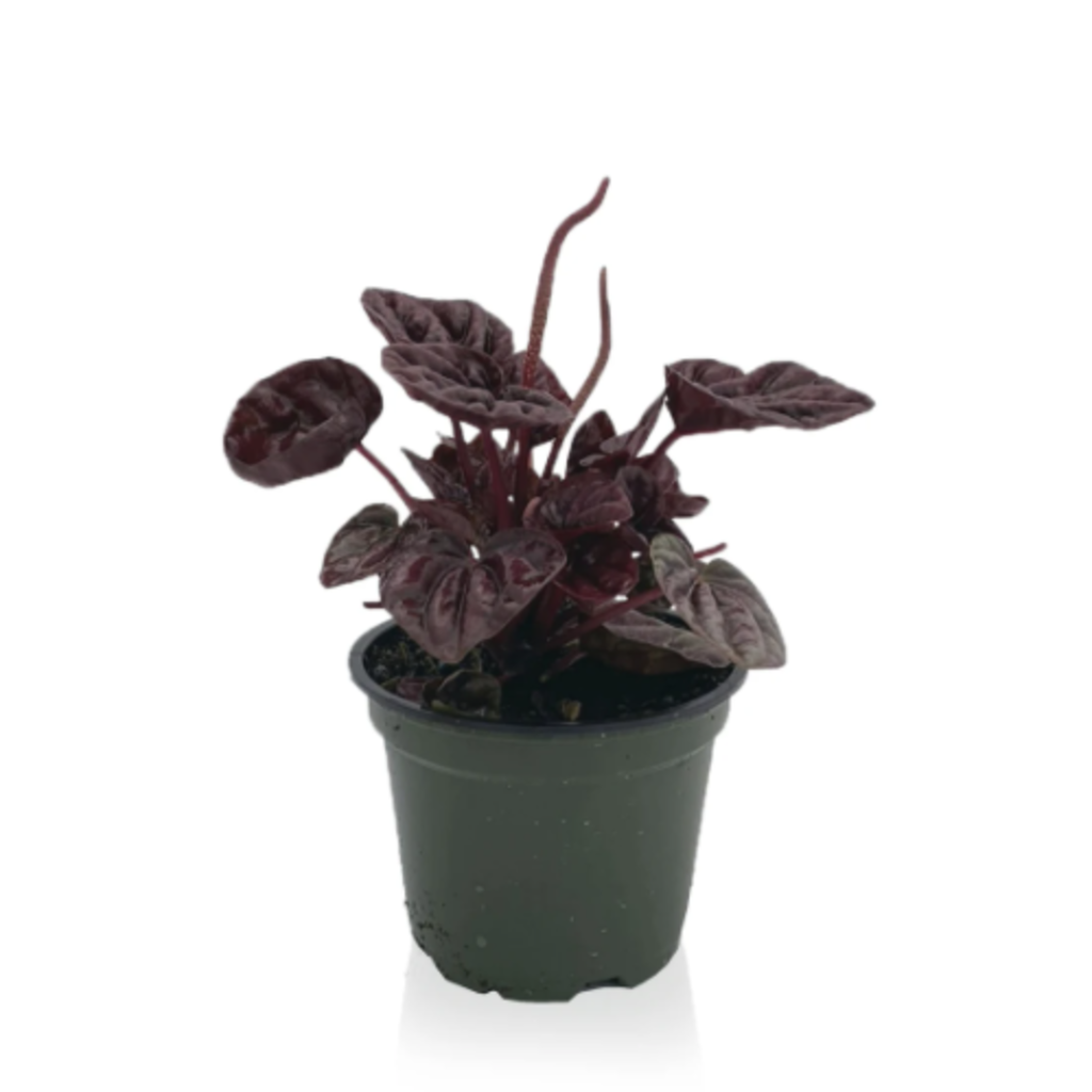 "Volume One Plant - Peperomia 'Ripple' - 4"""