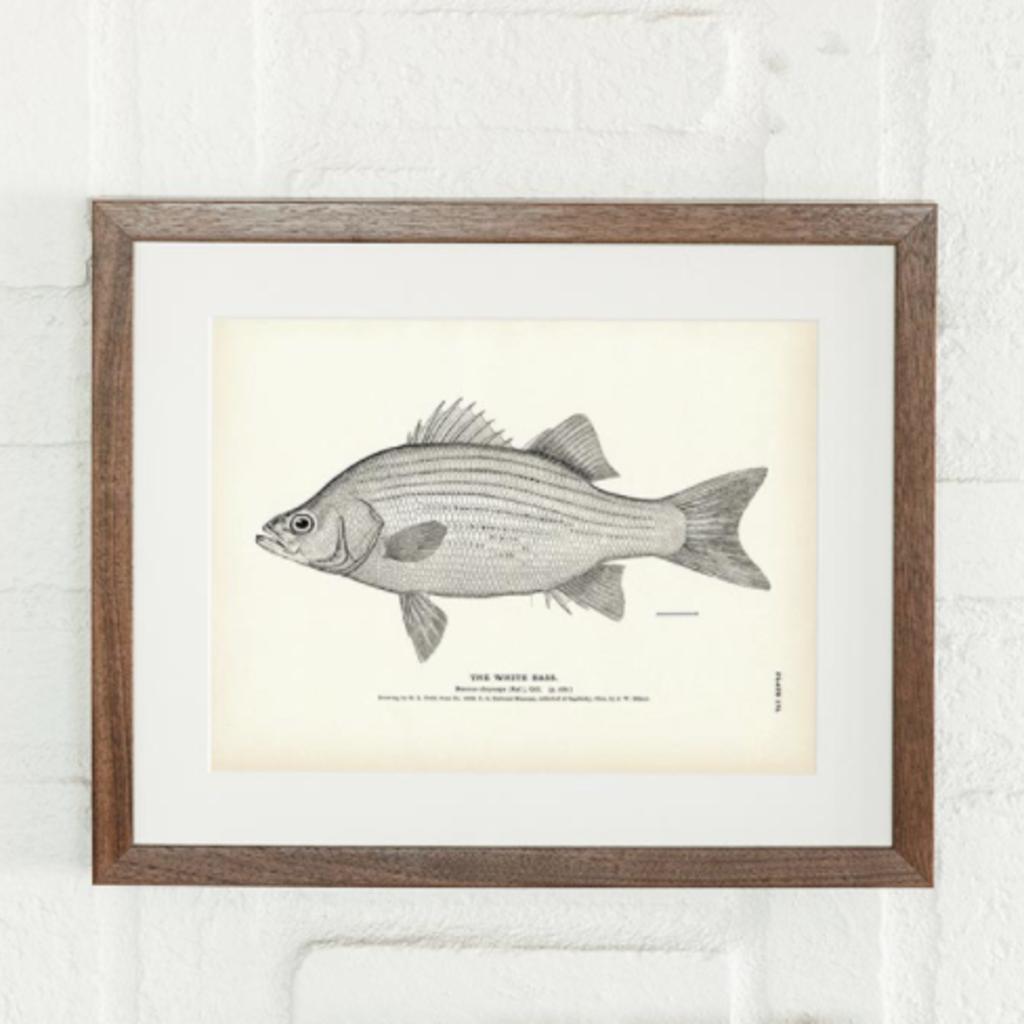 White Bass Print (8.5 x 11)