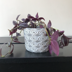 Grey Stone Planter 5inch + plant