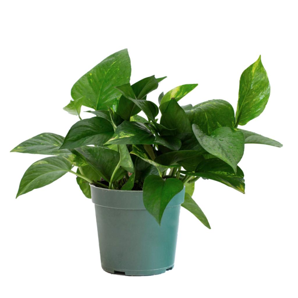 """Volume One Plant - Pothos 'Jade' - 4"""""""
