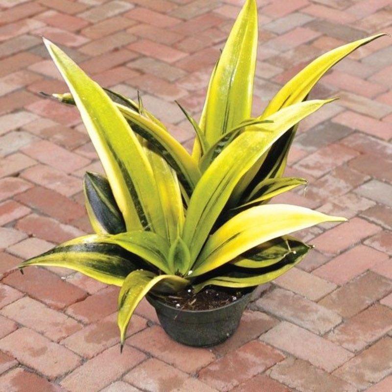 "Volume One Plant - 6"" Sansevieria 'Golden Flame'"