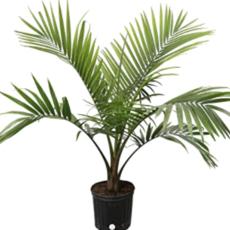 "Volume One Plant - 10"" Majesty Palm"