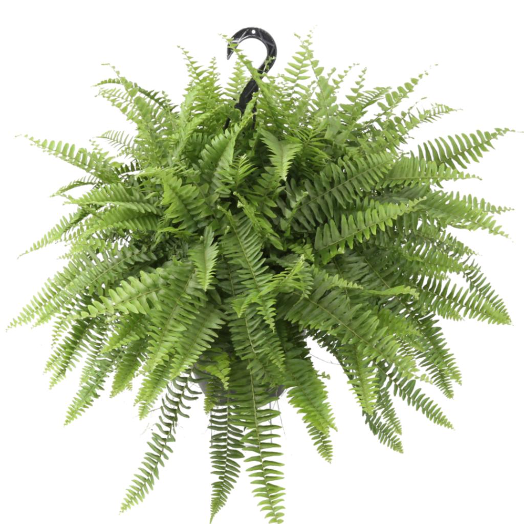 "Volume One Plant - 10"" Assorted Fern Hanging Basket"