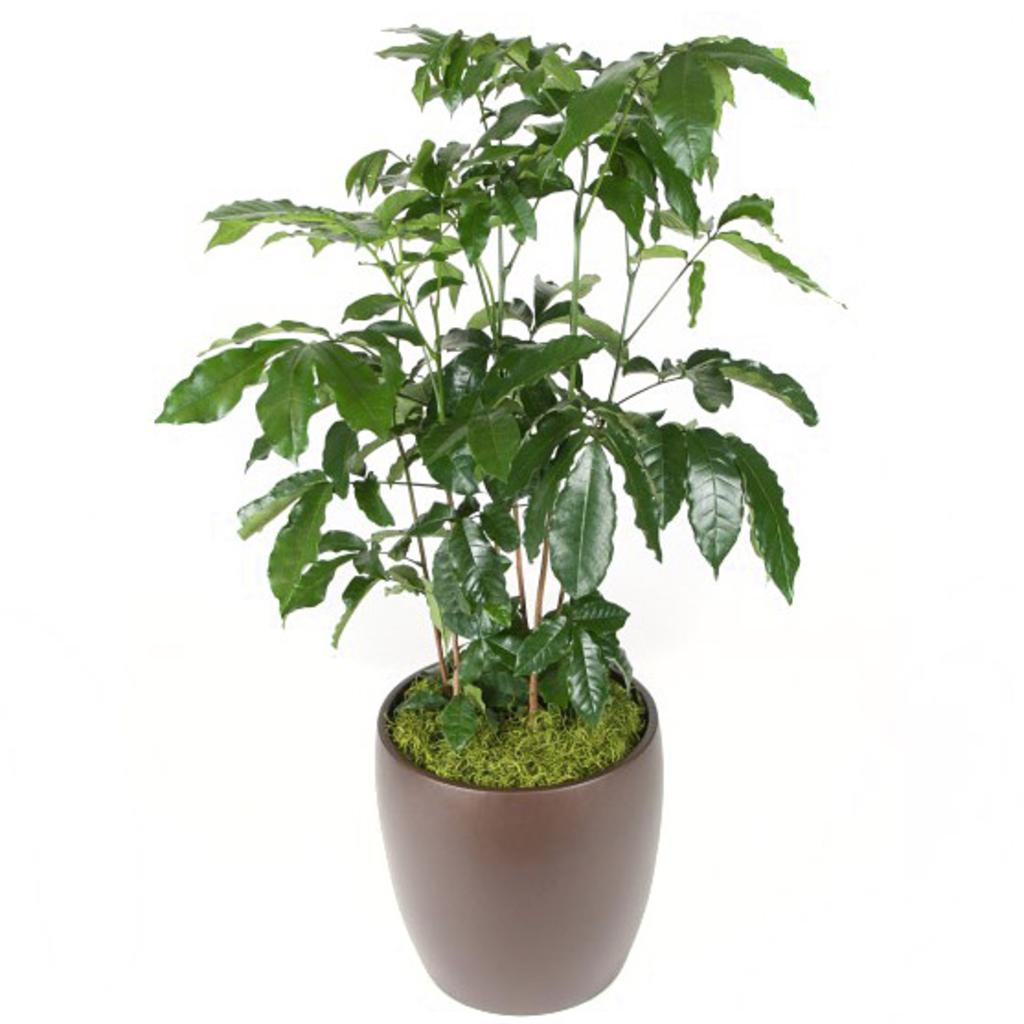 "Volume One Plant - 14"" Natal Mahogany"