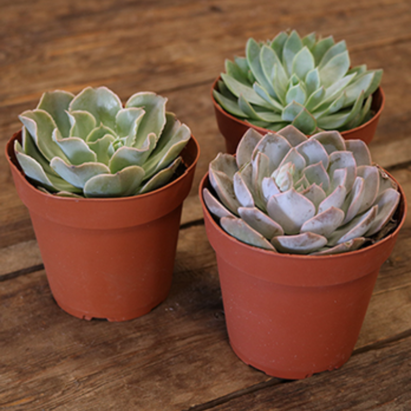 Volume One Extra Large #2 Succulent / Cacti (Assorted)