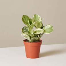 "Volume One Plant - Peperomia 'Marble' 4"""