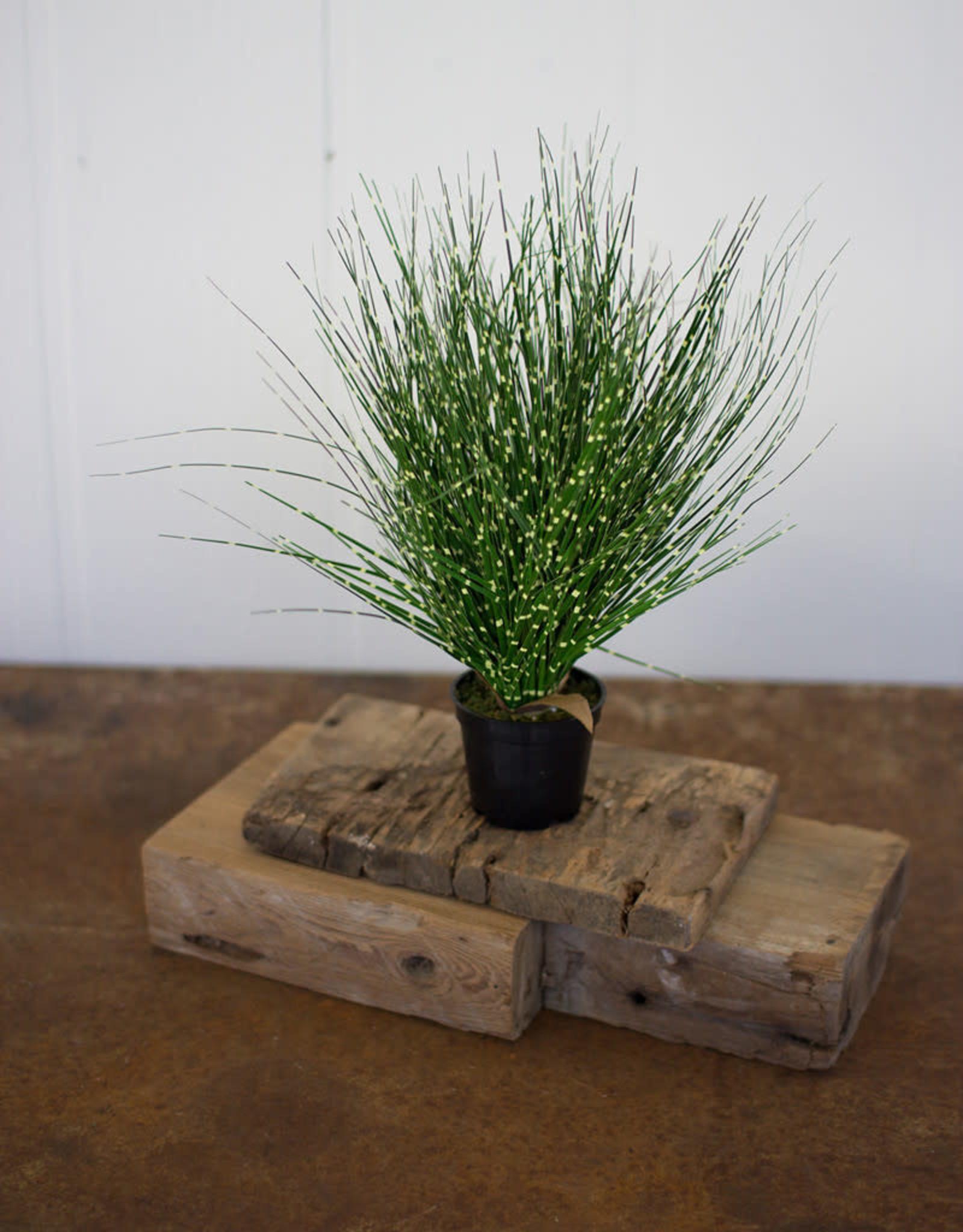 Kalalou Grass with Plastic Pot